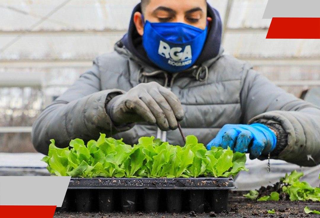 Se entregaron más de 74 mil plantines de lechuga a productores hortícolas